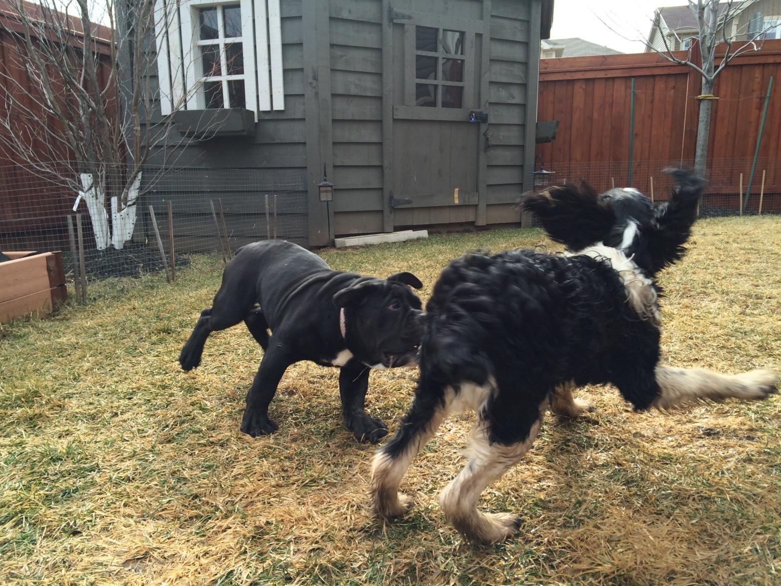 bulldog and spaniel playing milton ontario
